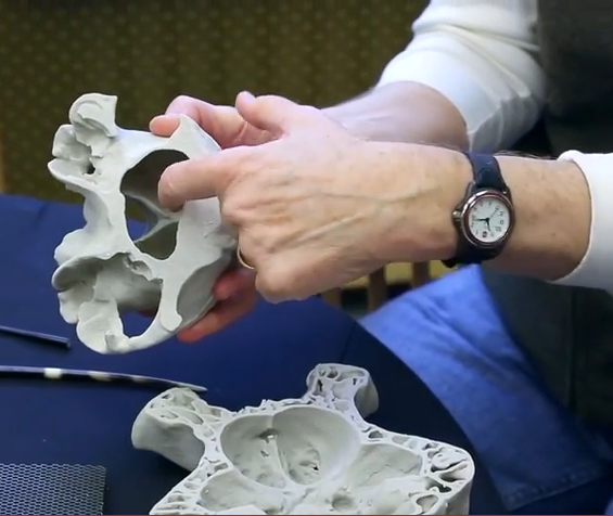 Hands holding a cross-section scale model of an elephant skull.