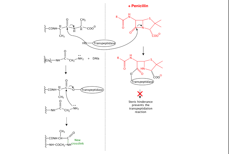Illustration from the lecture notes for module 1, session 4, of 5.07 Biological Chemistry 1, showing how penicillin inhibits cell wall biosynthesis in bacteria by inhibiting the enzyme transpeptidase.
